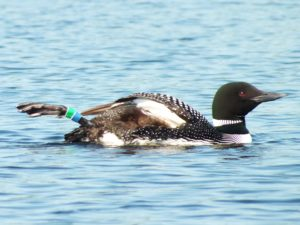loon-female-showing-bands
