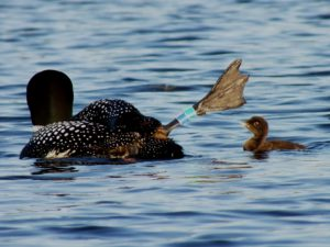 loon-with-bands