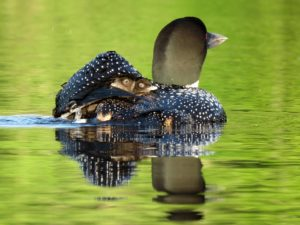 loon-with-chicks-on-back-2