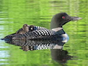 loon-with-chicks-on-back