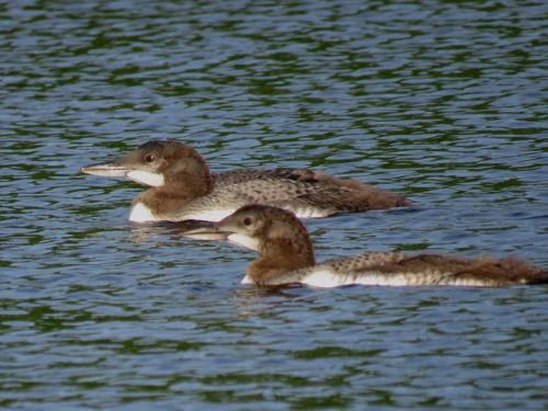 adolescent-loon-chicks