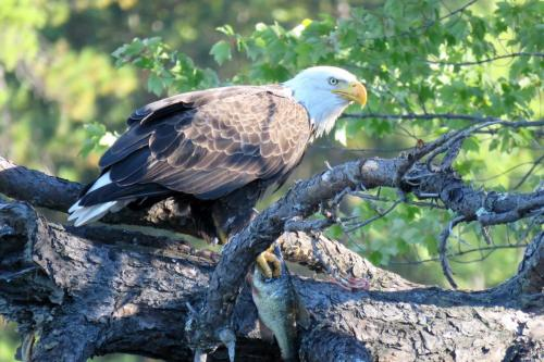 eagle-with-fish-in-tree