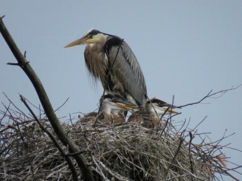 heron and chicks