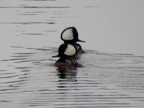 hooded merganser bookends
