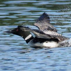 loon attacking