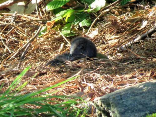 loon chick on nest