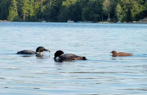loon-family-feeding