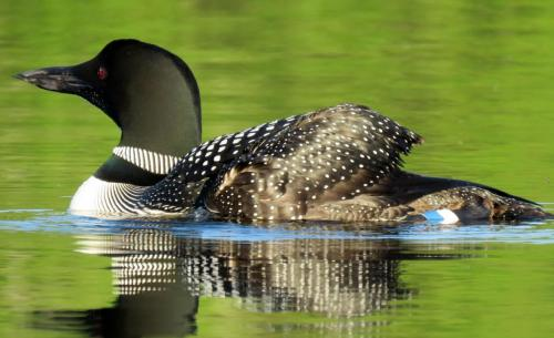 loon-female-north-end