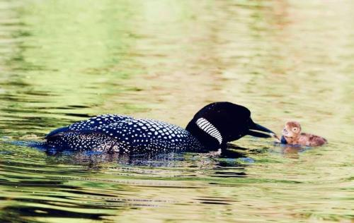 chick feeding