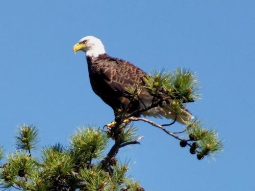 eagle-fierce-look