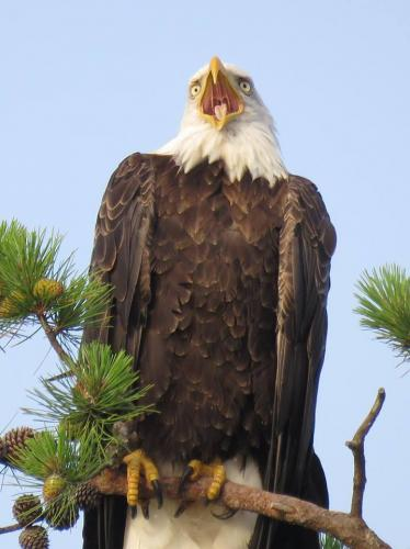 eagle-yawning