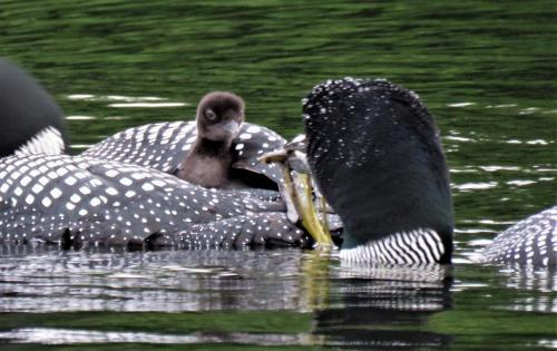 feeding baby loon on back