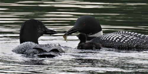feeding baby loon on water