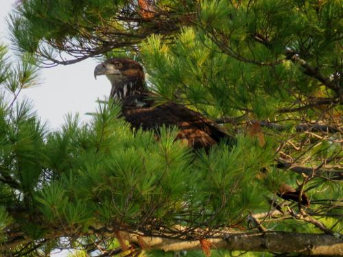 juvenile eagle hiding