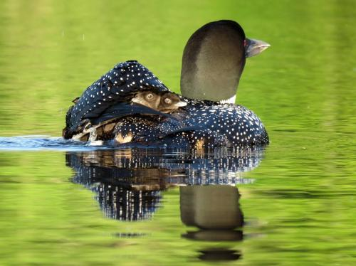 loon with chicks on back 2