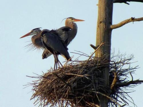 nesting-herons-2