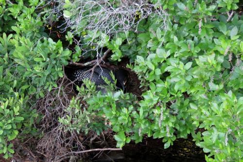 nesting-loon