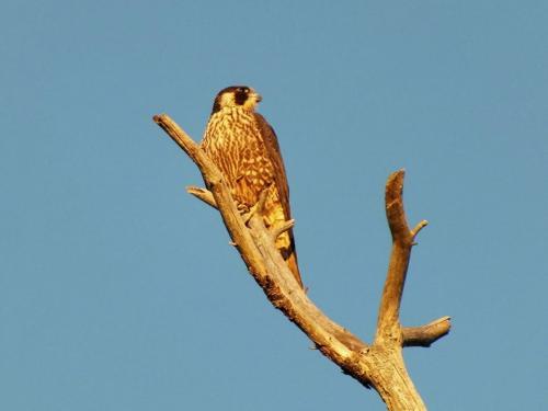 peregrine-falcon-2