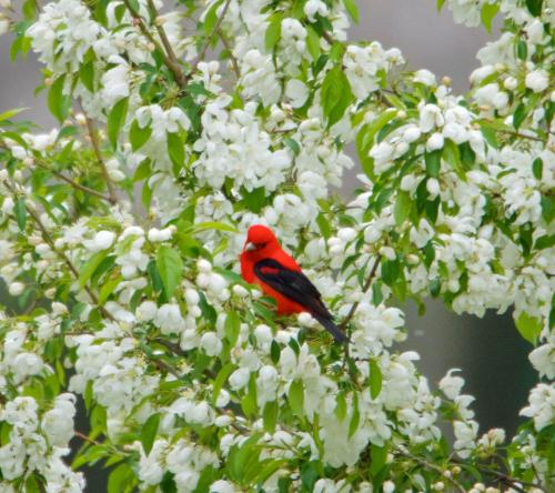scarlet tanager 2 cropped