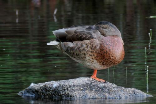 sleeping-duck