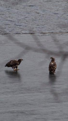 two eagle chicks on ice