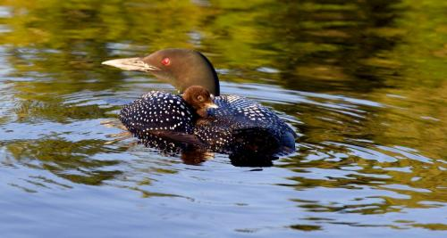 parent loon with chick on back